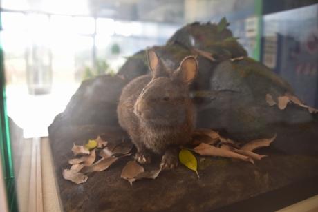 1アマミノクロウサギ