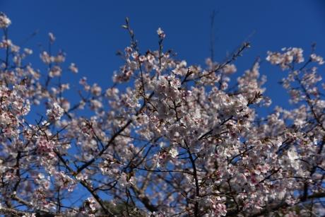 13梅が咲いておる