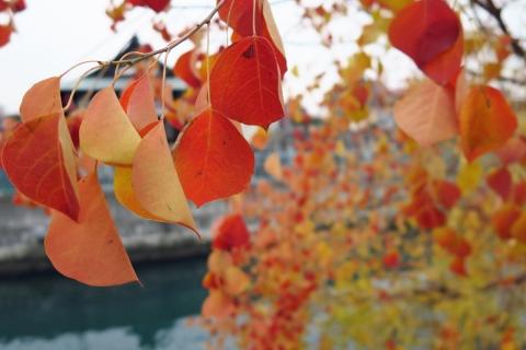 31運河の紅葉