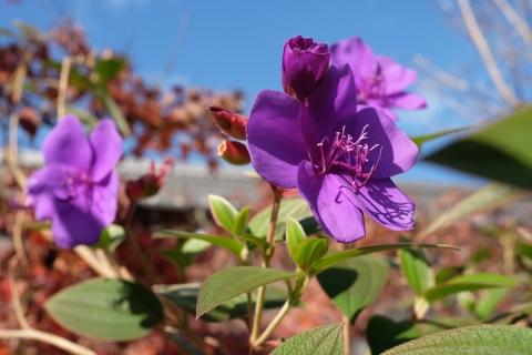 40地持院花