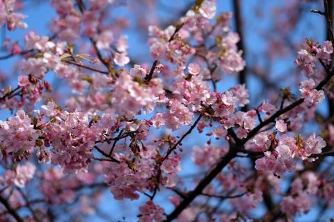 01b河津桜