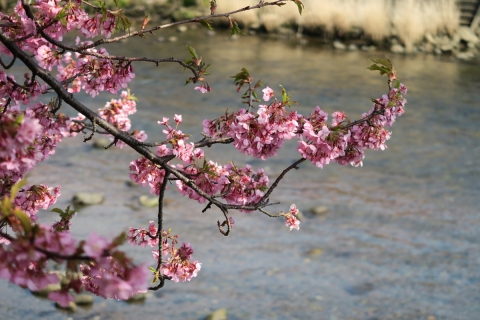 12a河津桜