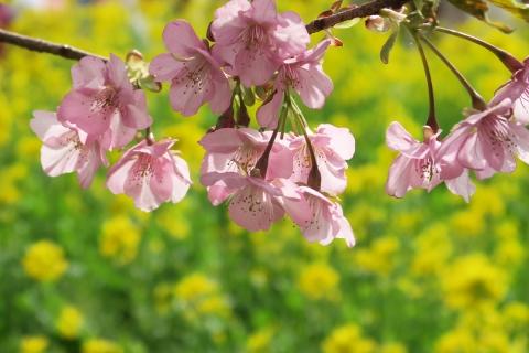 12b河津桜と菜の花