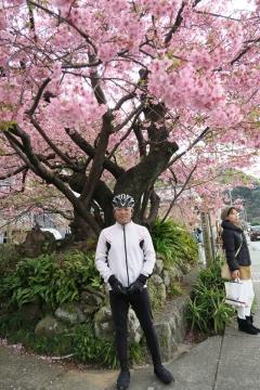 14河津桜原木