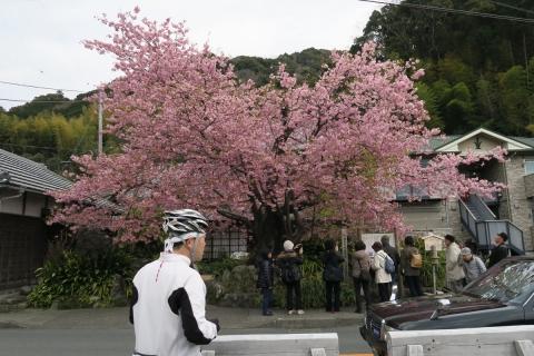15河津桜原木