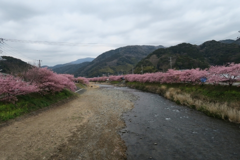 16a河津桜