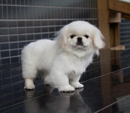 ペキニーズ 子犬 販売