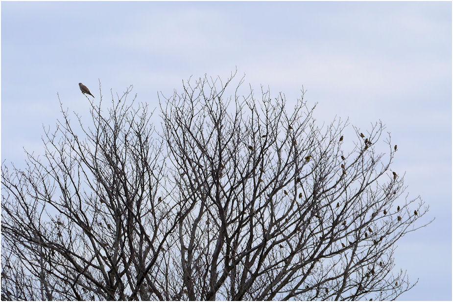 チョウゲンボウとカワラヒワの群れ