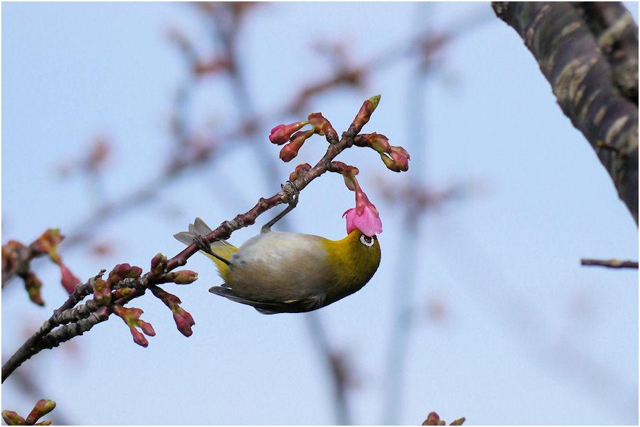 2016年河津桜とメジロ