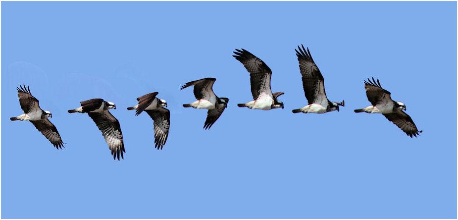 ミサゴの連続飛行写真