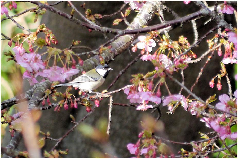 河津桜にシジュウカラ