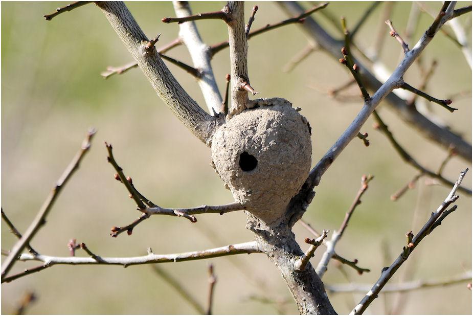 ドロバチの巣??