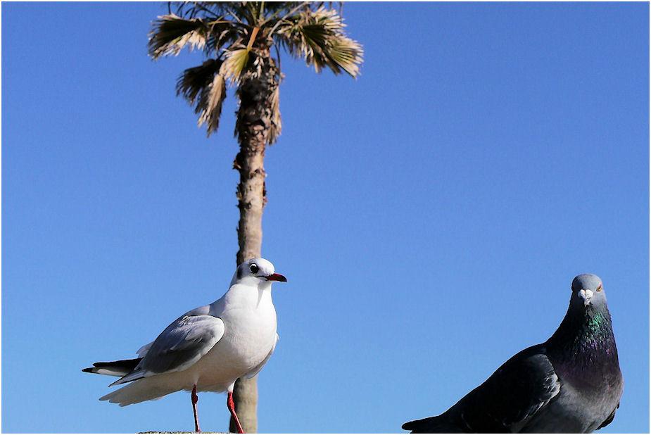 ユリカモメと鳩