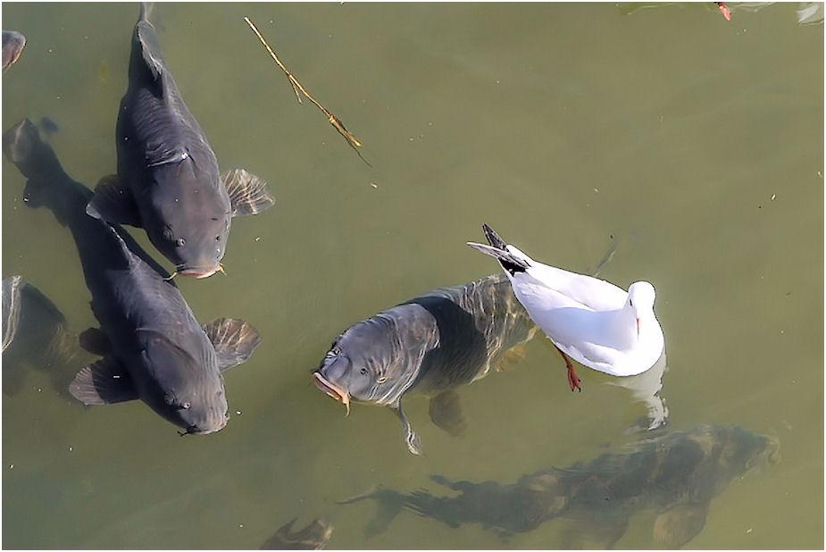 ユリカモメと鯉