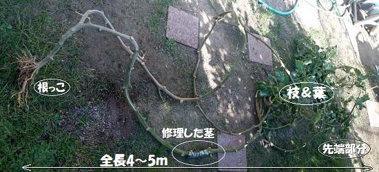 畑のトマトのつる(根っこ側より撮影:10月16日)