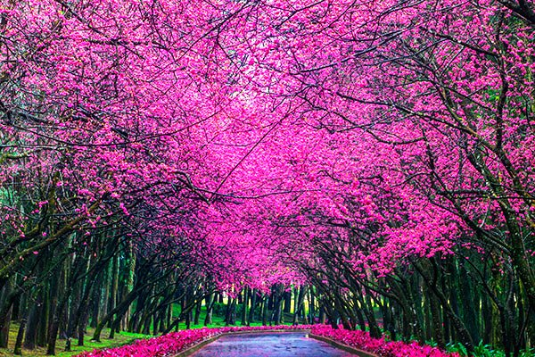 <br /><br />櫻花盛開在臺灣南投九族文化村_Cherry_blossom_-_Sakura_in_Formosa_Aboriginal_Culture_Village,_Nantou,_TAIWAN
