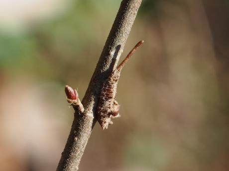 越冬アシベニカギバ幼虫