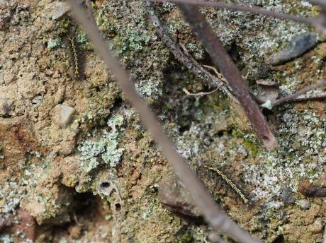 アカスジシロコケガ幼虫
