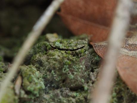 キシノウエトタテグモ巣