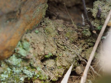 キシノウエトタテグモ巣2