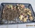 土付き生姜