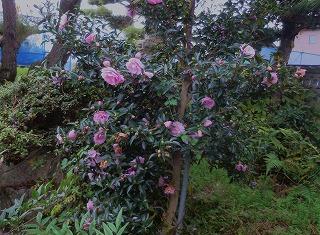 八重咲きの山茶花
