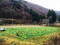 長谷の野菜