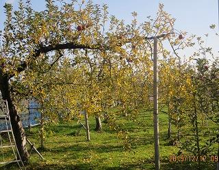 リンゴ黄葉