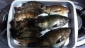 大津島の魚