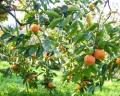 柿の九度山