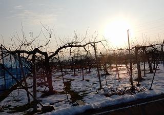 31日リンゴ園