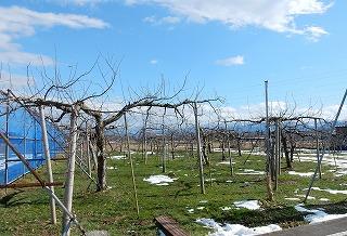 雪が消えたリンゴ園