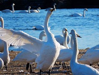 白鳥のダンス