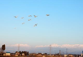 立山をバックに白鳥飛来