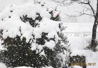 雪を被った椿