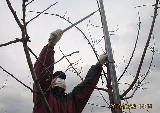 幼木の剪定