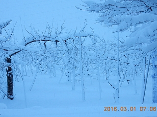 真っ白のリンゴ園