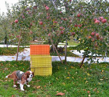 008りんご畑