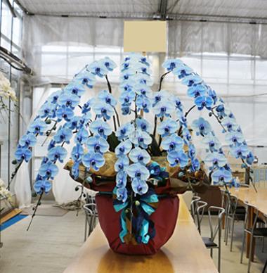 ブルーエレガンス 青い胡蝶蘭 祝い 花夢