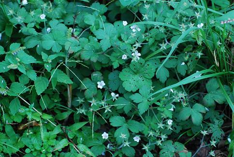 ゲンノウショウコに白い花
