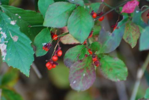 サワダツの赤い実がきれい