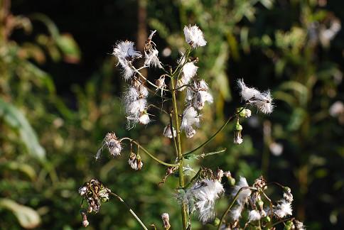 ベニバナボロギクの白い穂