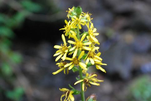オタカラコウの黄色い花が