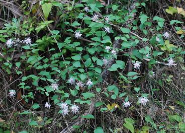 コウヤボウキに花がいっぱい