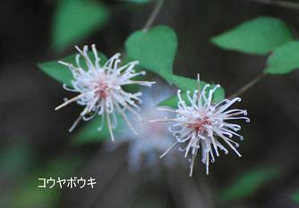 コウヤボウキの花が美しい