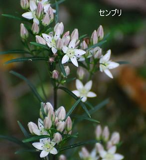 センブリの花が美しい