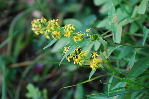 アキノキリンソウの花が大きく