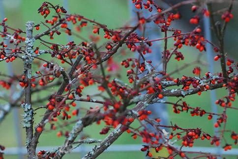 サワダツの赤い実がいっぱい