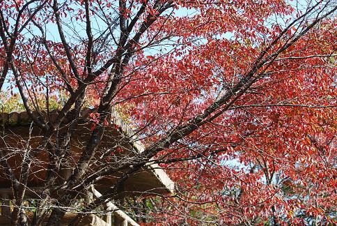 サクラの紅葉がきれい