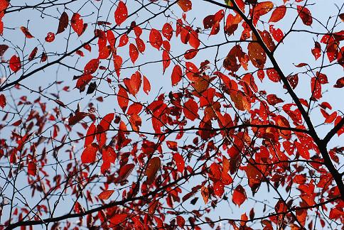 サクラの紅葉がとくに今年は